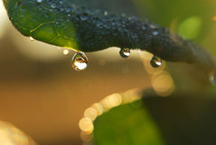 Water drops on plant. Water droplets of plant in the autumn Royalty Free Stock Image