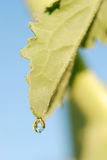 Water drops on plant. Water droplets of plant in the autumn Royalty Free Stock Photos