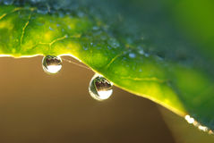 Water drops on plant. Water droplets of plant in the autumn Royalty Free Stock Photo
