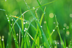 Water drops on plant. Green grass background with dew drops Royalty Free Stock Photography