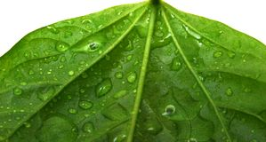 Water drops on plant leaf. Leaf and drop. green background. macro of fresh green plant Royalty Free Stock Images