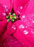 Water drops on poinsettia flower Stock Image