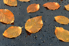 Water Drops on Polished black Car paint with Leafs Stock Photo