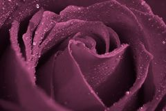 Water Drops On Purple Rose stock image