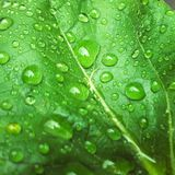 Water drops after rain on leaves. Water drops after rain on green leaves royalty free stock photo