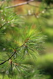 Water drops from recent rain on pine needles Stock Images