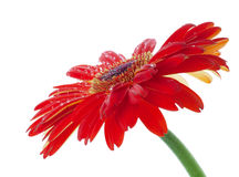 Water drops on red flower. Water drops on red gerbera flower. White background Royalty Free Stock Photo