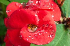 Water drops on red flower. A close up of a red flower with water drops royalty free stock photos