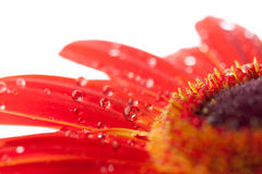 Water drops on red flower Royalty Free Stock Photography