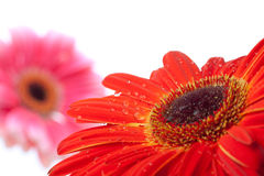 Water drops on red flower Stock Photography