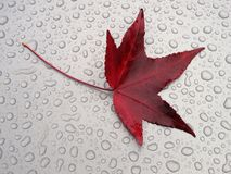 Water drops and a red leaf Stock Images