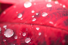 Water drops on red leaf Royalty Free Stock Image