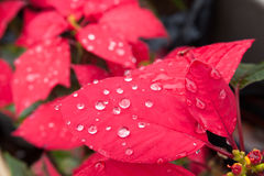 Water drops on red leaf. Stock Photos