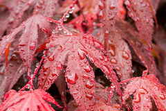 Water drops on red mapple leaf Stock Images