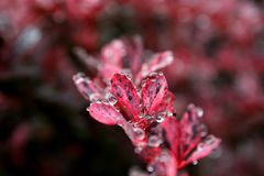 Water drops on red petals Stock Images
