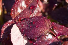 Water Drops on Red Plant Leaf. A  Water Drops on Red Plant Leaf. close up stock photography