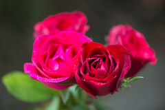 Water drops on the red rose petals. Stock Images