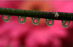 Water Drops with Gerbera Daisy Flower Reflection, macro. Royalty Free Stock Images
