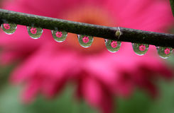 Water Drops with Gerbera Daisy Flower Reflection, macro. Stock Photography