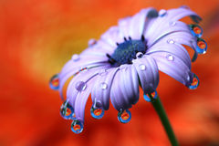 Water Drops Reflection African Daisy Flower Macro. Royalty Free Stock Image
