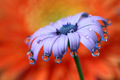 Water Drops Reflection African Daisy Flower Macro. Stock Photos