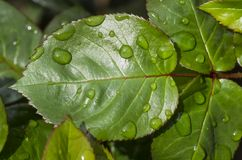 Water drops on rose leaf Stock Photography