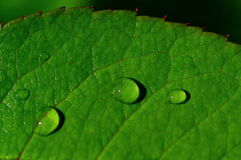 Water drops on rose leaf. Closeup of a rose leaf with water drops from dew and veins Stock Image