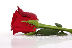 Water drops on single red rose Stock Image
