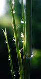 Water drops on Small bamboo Stock Photo