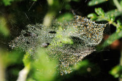 Water drops. On spider web Royalty Free Stock Photos