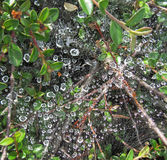 Water drops on a spider web Royalty Free Stock Photography