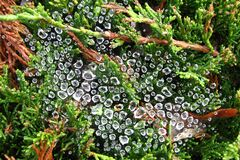 water drops on spiderweb 1 Royalty Free Stock Photo