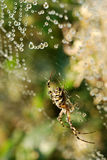 Water drops on spiderweb. Morning dew on spider web with spider Royalty Free Stock Images