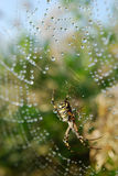 Water drops on spiderweb. Morning dew on spider web with spider Royalty Free Stock Photography