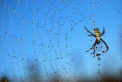 Water drops on spiderweb. Morning dew on spider web with spider Stock Images