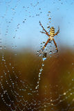 Water drops on spiderweb. Morning dew on spider web with spider Stock Photography