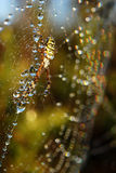 Water drops on spiderweb. Morning dew on spider web with spider Royalty Free Stock Image
