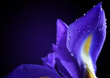 Water drops on spring iris flower. stock images