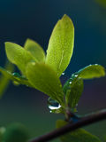 Water drops on spring leafs. Beautiful water drops on fresh leafs Stock Photography