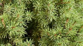 Water drops on spruce needles decorative closeup. Close-up stock video