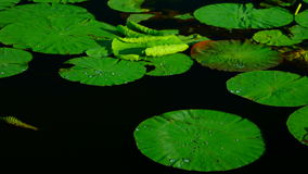 Water Drops  On Torn Lotus Leaves (Nelumbo Nucifera) stock footage