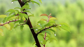 Water drops at the tree stock video footage