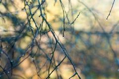 Water drops on tree twig macro royalty free stock image