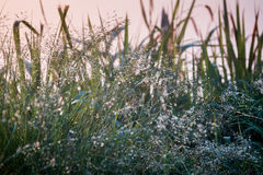 Water drops under grass flower terraces on highlands with sunset. Royalty Free Stock Image