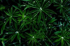 Water drops on a vivid green leafs after rain in the garden, top view, in midnight colors, black isolated royalty free stock images