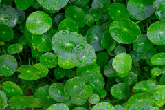 Water drops on Water pennywort leaves Stock Photos