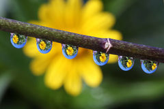 Water Drops with Wedelia Flower Reflection, macro. Stock Photo