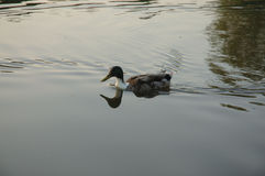 Water_Duck. A Duck swimming in the Water Royalty Free Stock Photography