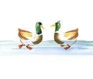 Water duck watercolor Stock Photo