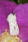 Water ermine (spilosoma urticae) Royalty Free Stock Photography